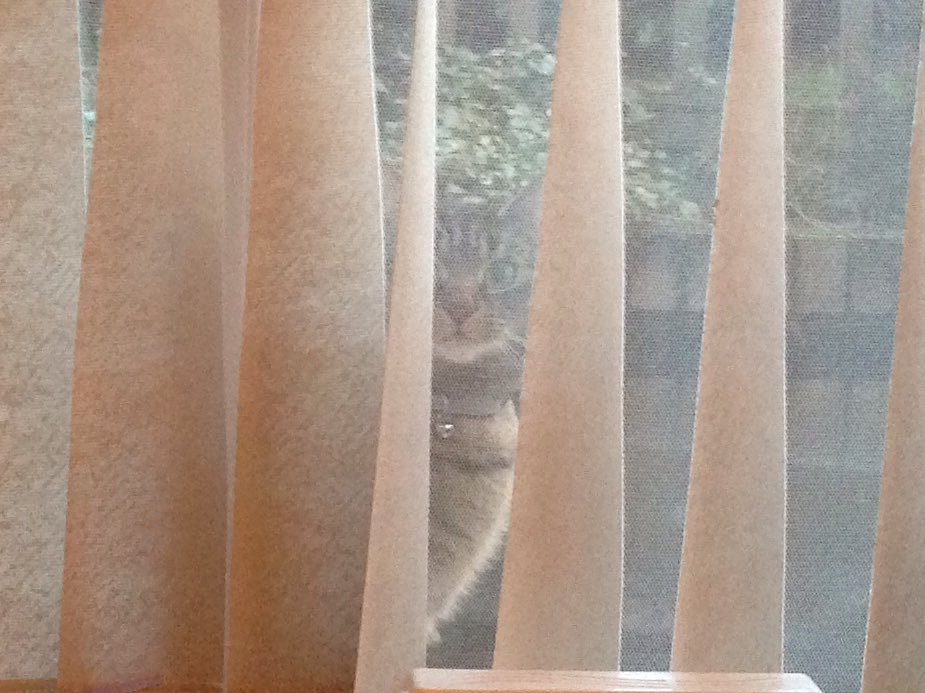 A cat (called Ollie) peeking through a window blind